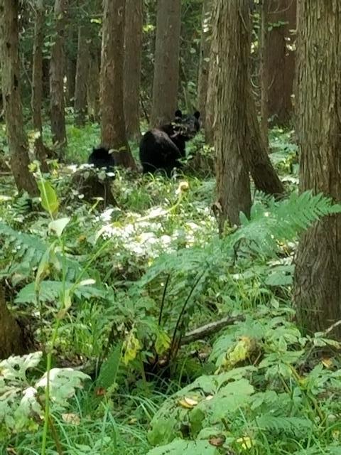 藤田八束の下北半島「奥薬研」からの報告@渡辺水産からの楽しい素敵な頼り、森の熊さんたちに逢いました・・・熊の親子にご対面_d0181492_08103410.jpg