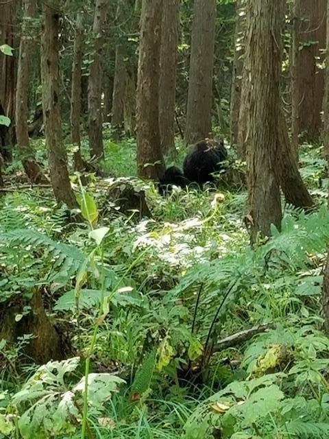 藤田八束の下北半島「奥薬研」からの報告@渡辺水産からの楽しい素敵な頼り、森の熊さんたちに逢いました・・・熊の親子にご対面_d0181492_08104183.jpg