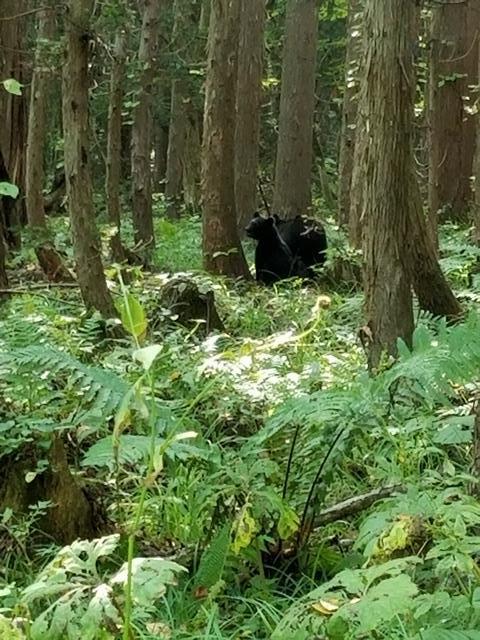 藤田八束の下北半島「奥薬研」からの報告@渡辺水産からの楽しい素敵な頼り、森の熊さんたちに逢いました・・・熊の親子にご対面_d0181492_08104646.jpg