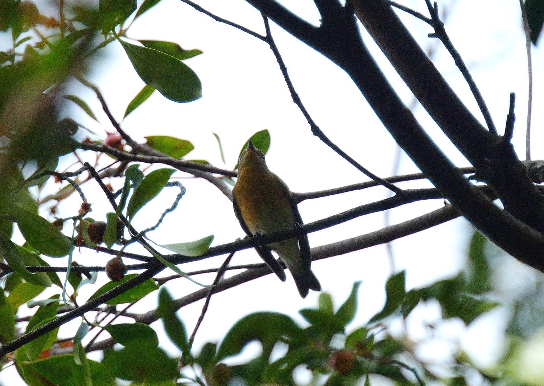 モッコクの木の実に集う ムギマキ 雌_e0362696_16025993.jpg