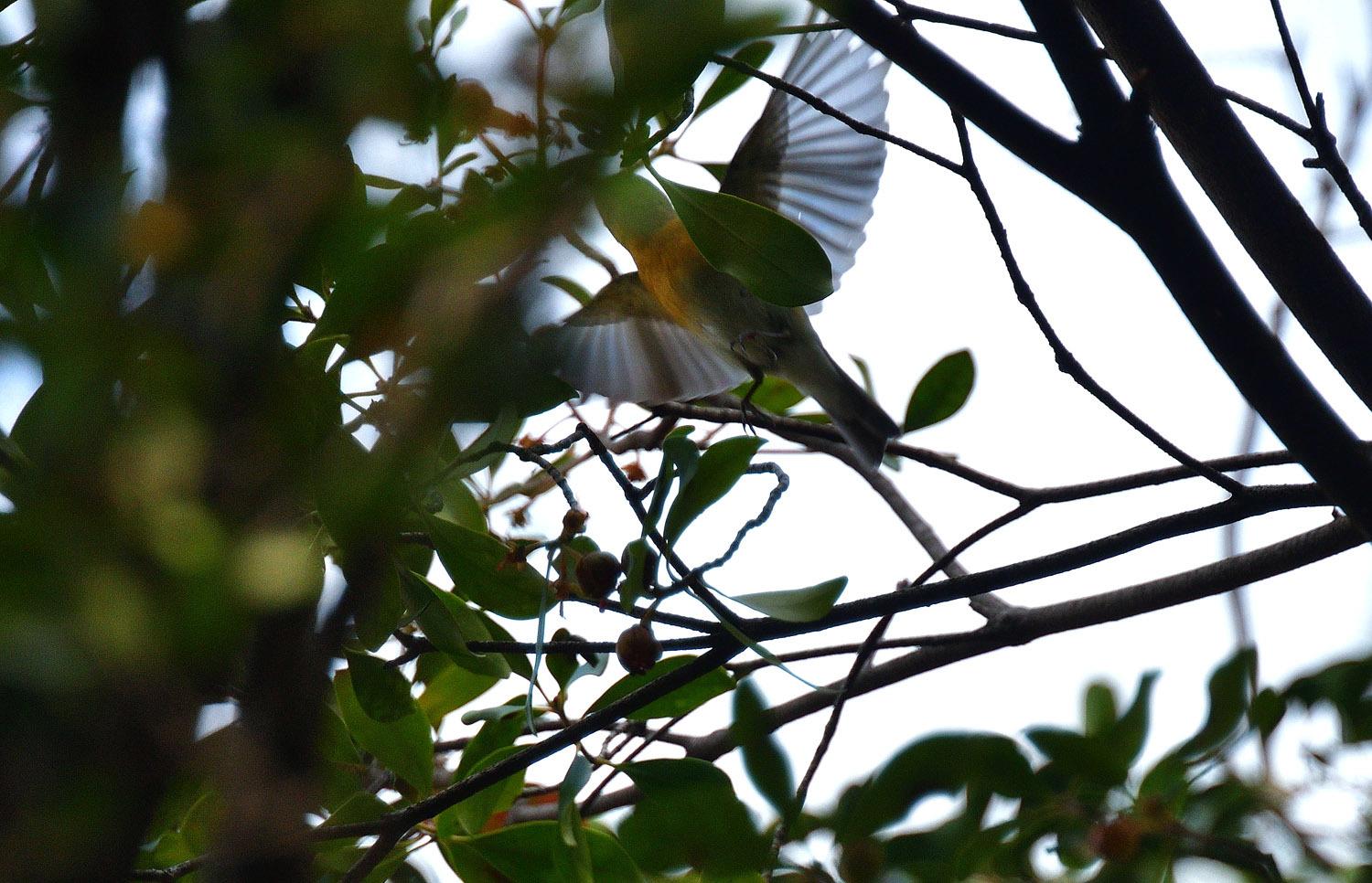 モッコクの木の実に集う ムギマキ 雌_e0362696_16030177.jpg