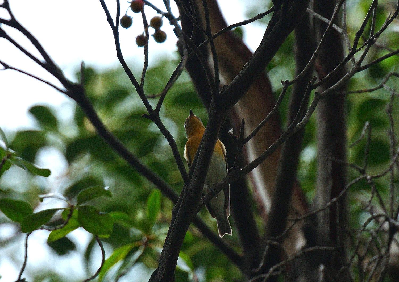モッコクの木の実に集う ムギマキ 雌_e0362696_16032797.jpg