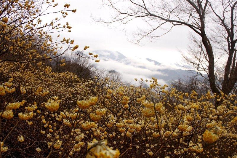 三椏満開のミツバ岳!_a0165316_13175024.jpg