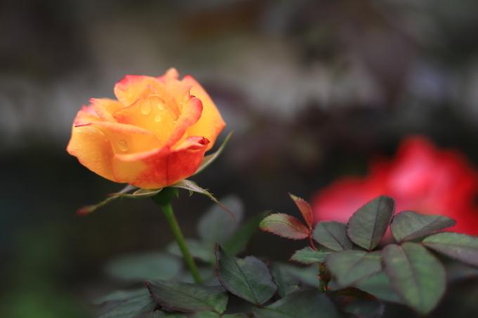 【生田緑地バラ苑】【岡本太郎美術館】_f0348831_06054925.jpg