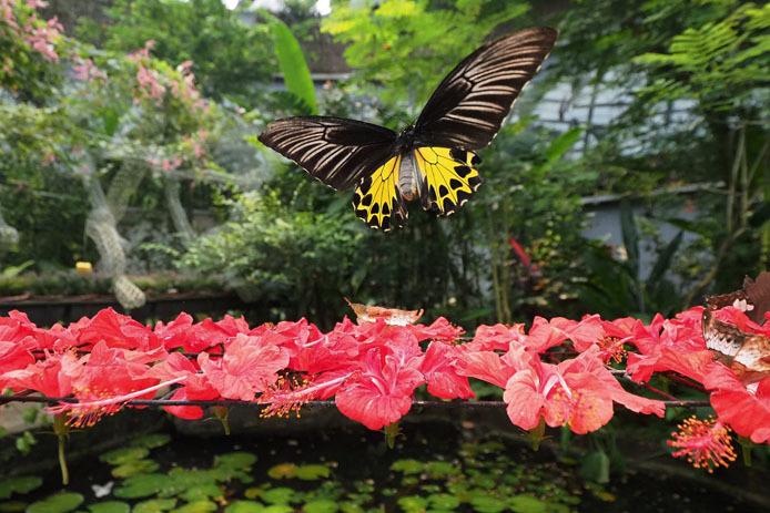 ヘレナキシタアゲハの昇蝶図_d0149245_10014314.jpg