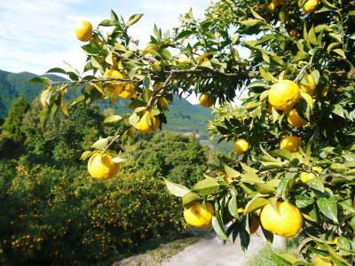 令和元年度の色付いた『香り高き柚子』本日より先行予約受付スタート!!商品ラインナップ紹介!_a0254656_17114915.jpg