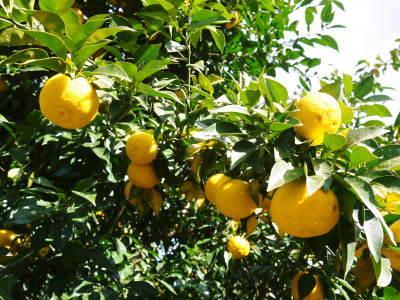 令和元年度の色付いた『香り高き柚子』本日より先行予約受付スタート!!商品ラインナップ紹介!_a0254656_17242232.jpg
