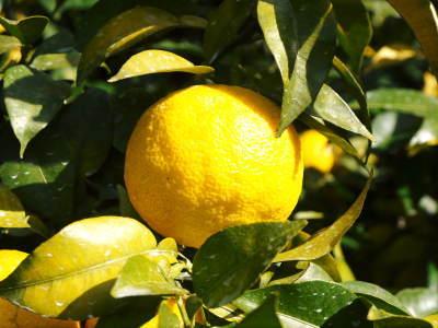 令和元年度の色付いた『香り高き柚子』本日より先行予約受付スタート!!商品ラインナップ紹介!_a0254656_17264348.jpg