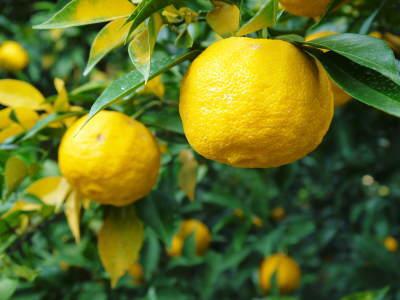 令和元年度の色付いた『香り高き柚子』本日より先行予約受付スタート!!商品ラインナップ紹介!_a0254656_17335311.jpg
