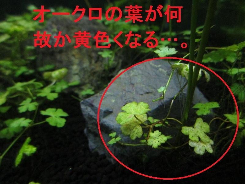 アクアリウム「葉が黄色くなるのは何故」_b0362459_17104421.jpg