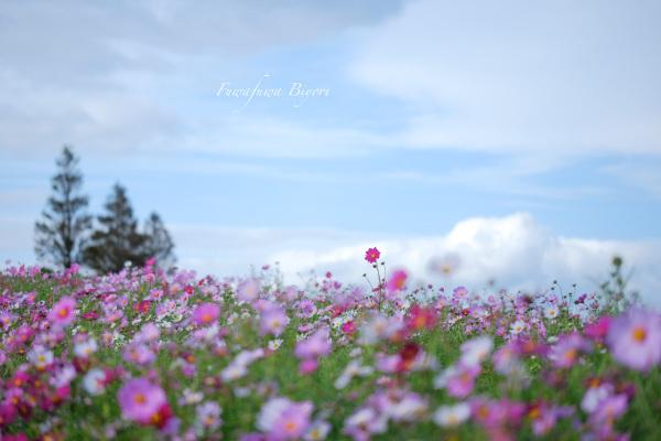 秋桜色 **_d0344864_19515367.jpg