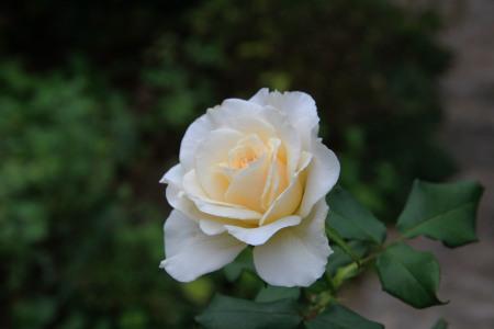 秋バラ ~フレンチレース~_a0107574_18412119.jpg