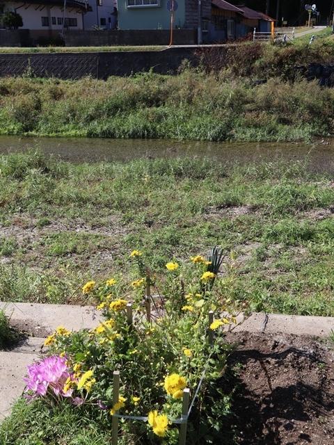 気仙沼が元気な姿を見せ始めました。気仙沼は復旧から復興へ急ピッチ・・・気仙沼湾鹿折川に元気な鮭の姿を発見_d0181492_19435110.jpg