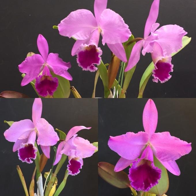 C.labiata fma.rubra\'Shuller\'#02&C.jenmanii\'Santa Helena\'_d0007501_10134507.jpg