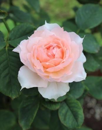 秋の方が美しく咲くバラ(*^^*)_e0341606_10374353.jpg
