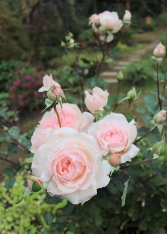 秋の方が美しく咲くバラ(*^^*)_e0341606_10405739.jpg