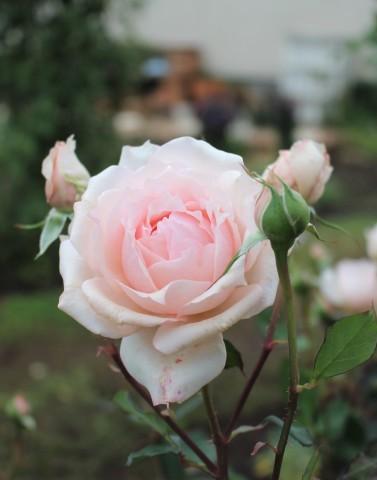 秋の方が美しく咲くバラ(*^^*)_e0341606_10501033.jpg