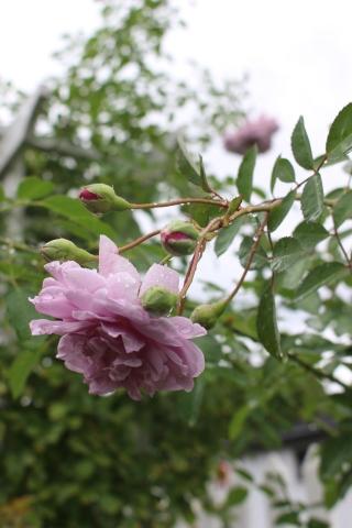 秋の方が美しく咲くバラ(*^^*)_e0341606_10564204.jpg
