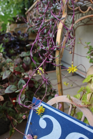 秋の方が美しく咲くバラ(*^^*)_e0341606_11030172.jpg