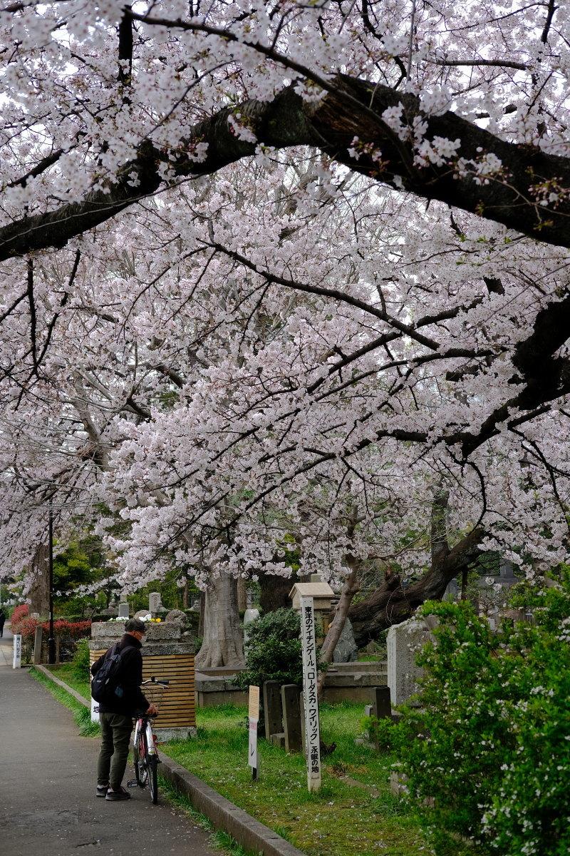 巣鴨  カメラおやじ、染井霊園でライトな花見_b0061717_02521079.jpg