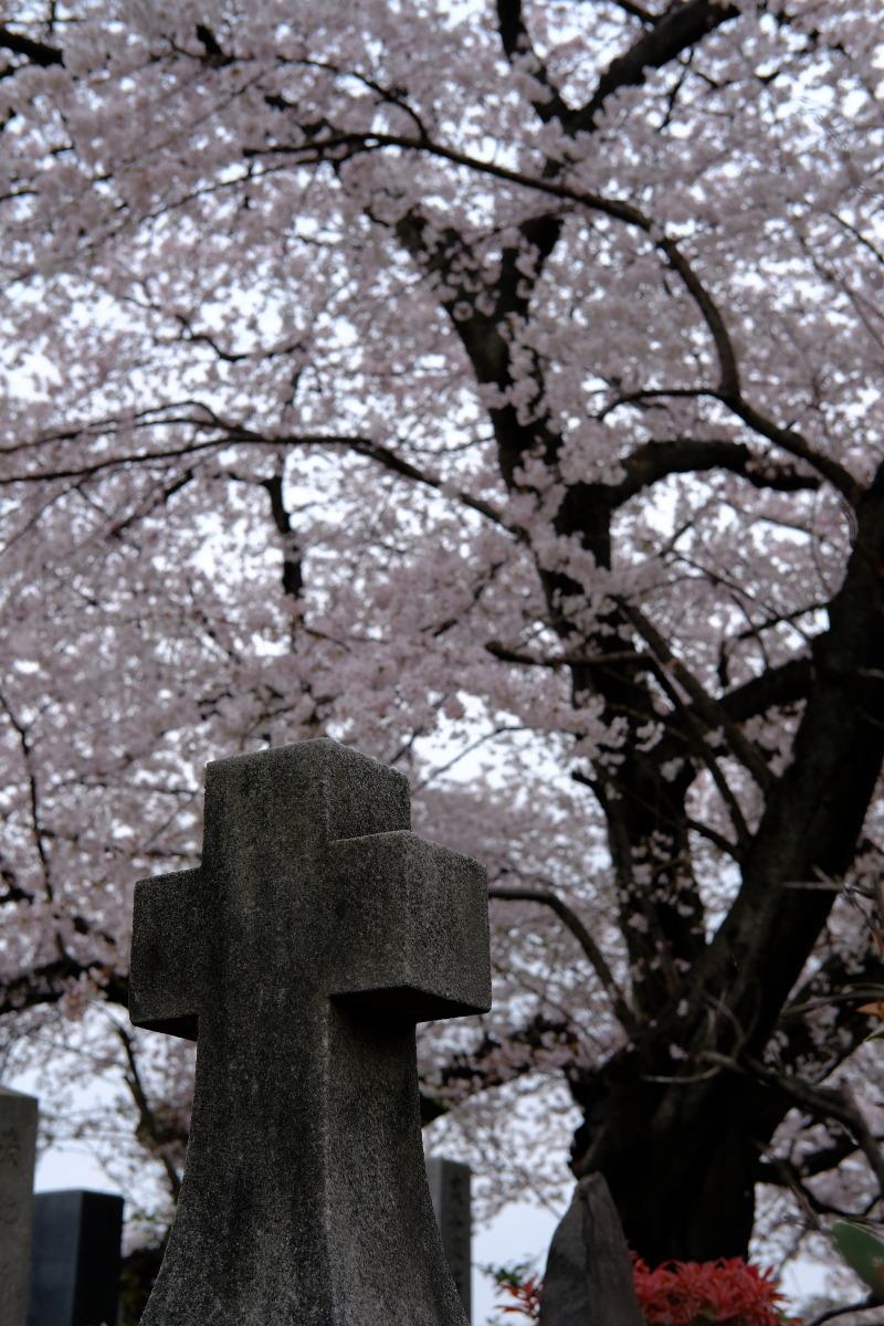 巣鴨  カメラおやじ、染井霊園でライトな花見_b0061717_02521697.jpg