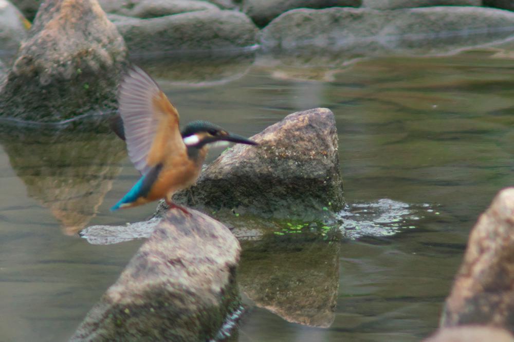 緑地公園のカワセミ_b0408917_18484790.jpg