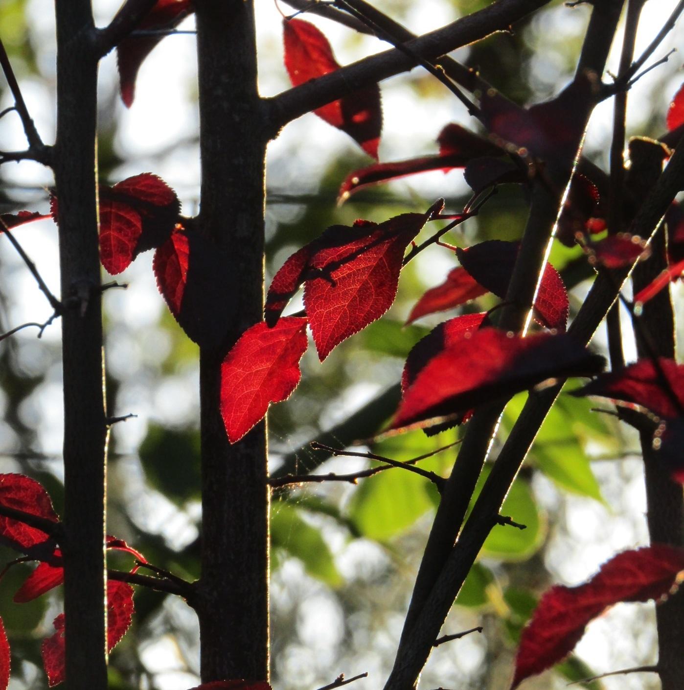 赤い葉っぱ_b0287748_20452764.jpg
