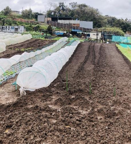 今朝は元20号の雨風に打たれて 蕪の収穫です 台風は多い季節は虫も沢山活性します_c0222448_11165092.jpg