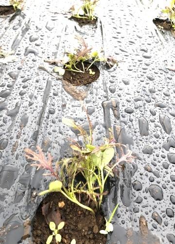 今朝は元20号の雨風に打たれて 蕪の収穫です 台風は多い季節は虫も沢山活性します_c0222448_11170623.jpg