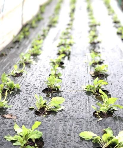 今朝は元20号の雨風に打たれて 蕪の収穫です 台風は多い季節は虫も沢山活性します_c0222448_11173747.jpg