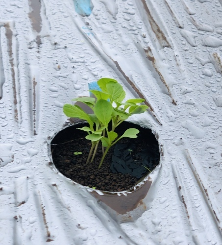今朝は元20号の雨風に打たれて 蕪の収穫です 台風は多い季節は虫も沢山活性します_c0222448_11175472.jpg