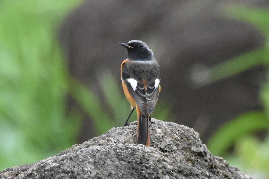 冬鳥のジョウビタキもやって来ました・・・★先週末の鳥類園(2019.10.19~22)_e0046474_18302816.jpg