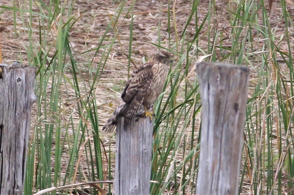 冬鳥のジョウビタキもやって来ました・・・★先週末の鳥類園(2019.10.19~22)_e0046474_18304517.jpg