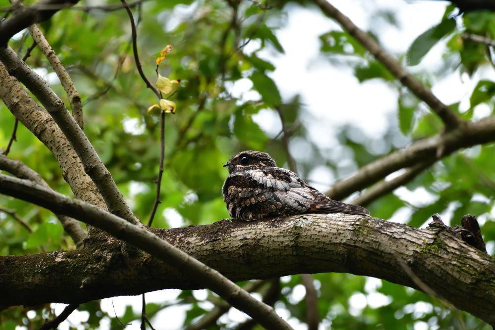 夜行性の鳥「ヨタカ」_f0202686_10111284.jpg