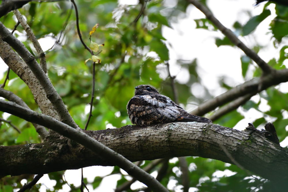 夜行性の鳥「ヨタカ」_f0202686_10114368.jpg