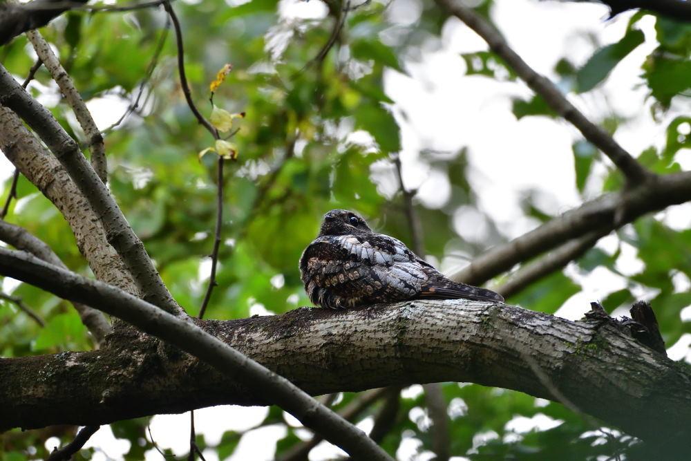 夜行性の鳥「ヨタカ」_f0202686_10114879.jpg