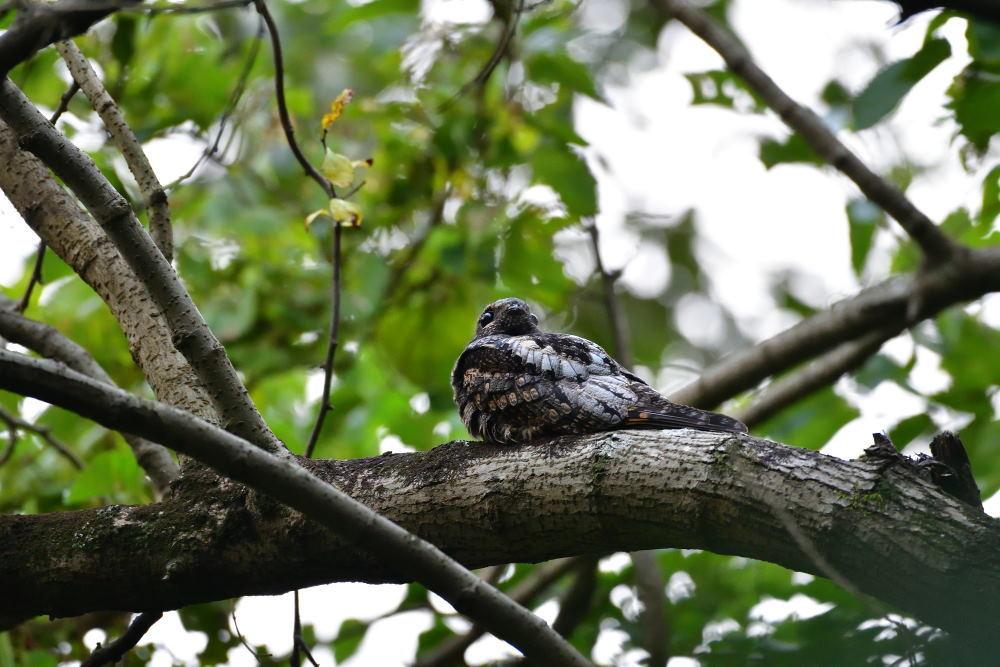 夜行性の鳥「ヨタカ」_f0202686_10115403.jpg