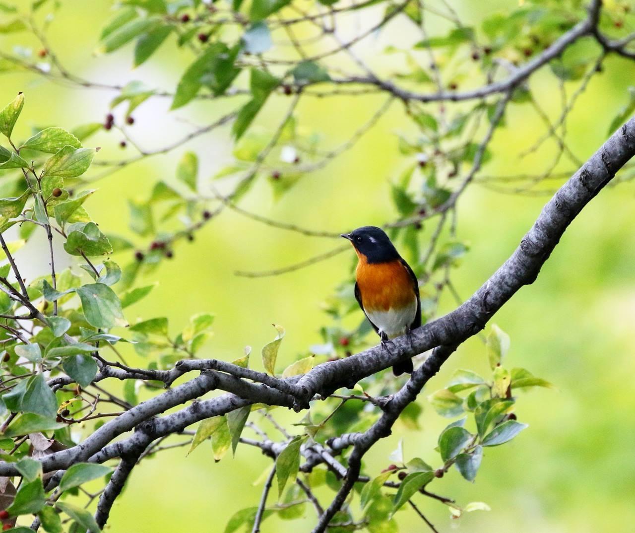 やっとムギマキ♂成鳥に出会う(その1)_c0213607_22354350.jpg