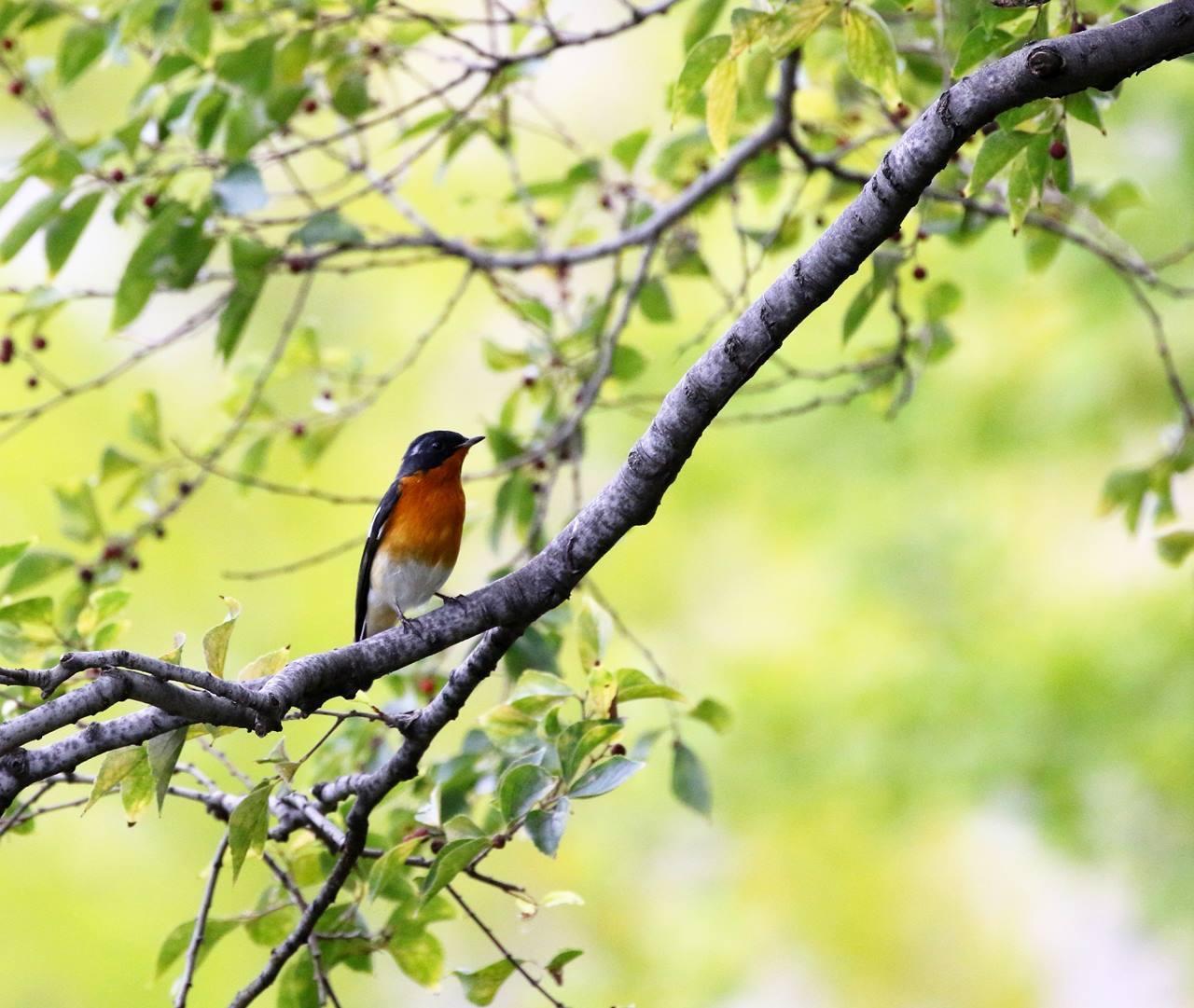 やっとムギマキ♂成鳥に出会う(その1)_c0213607_22354883.jpg