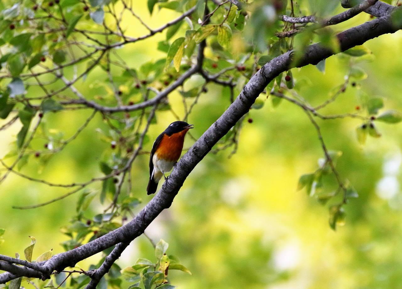 やっとムギマキ♂成鳥に出会う(その1)_c0213607_22364102.jpg