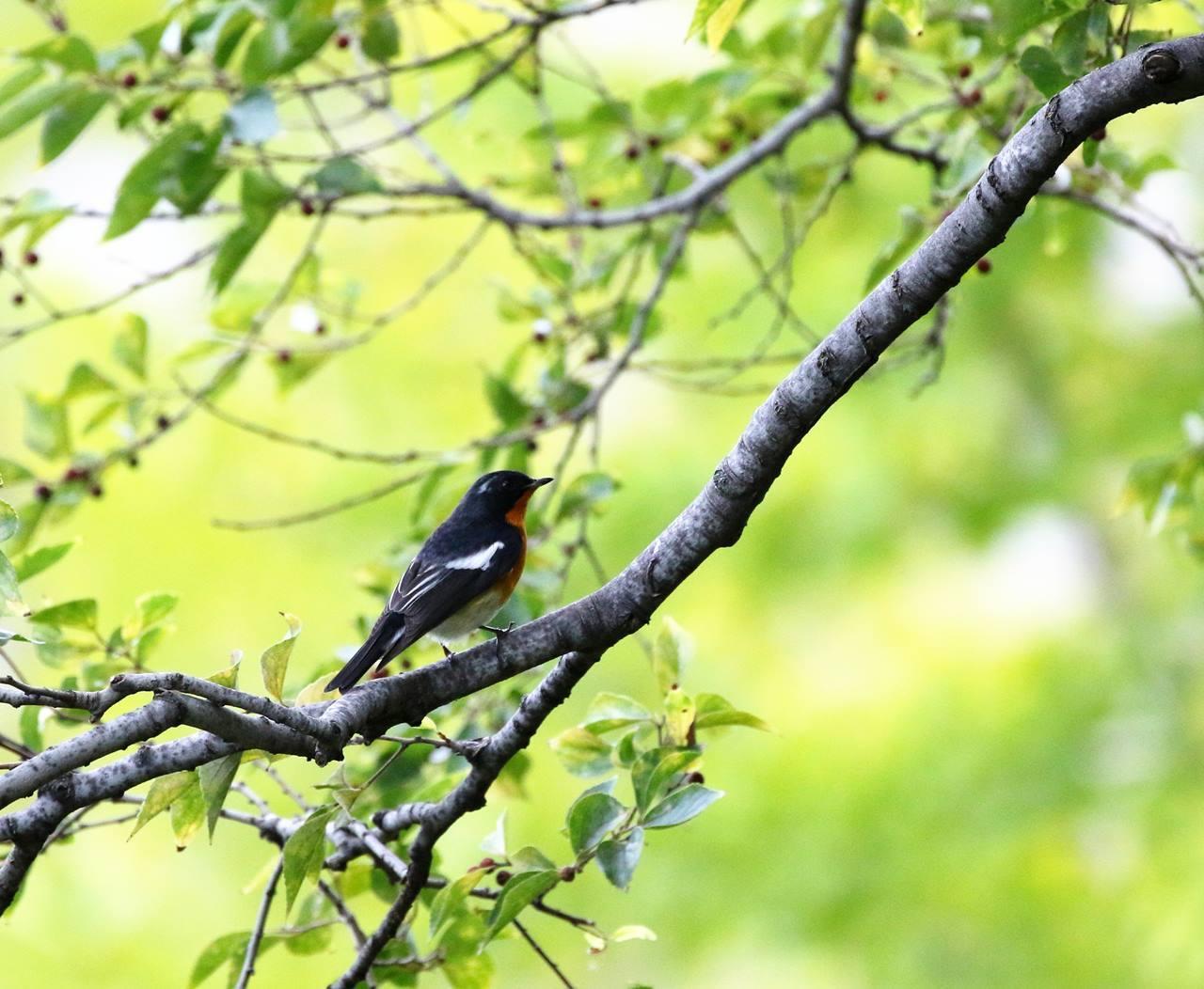 やっとムギマキ♂成鳥に出会う(その1)_c0213607_22364624.jpg