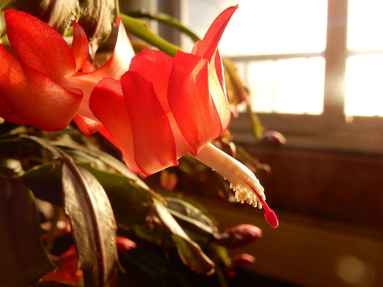 クリスマス・カクタス、最初の一輪が咲きました_c0025115_22480331.jpg