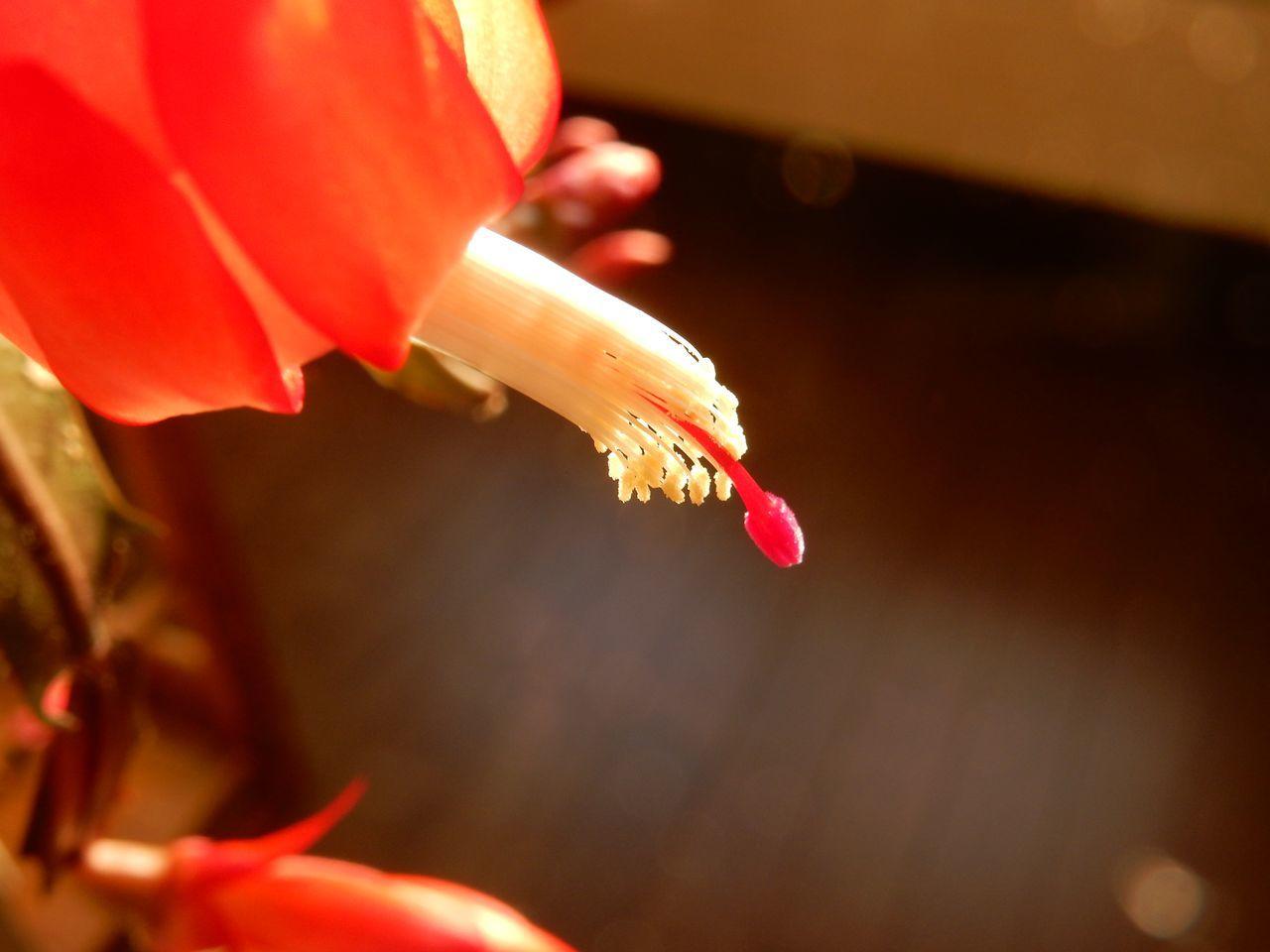 クリスマス・カクタス、最初の一輪が咲きました_c0025115_22480638.jpg