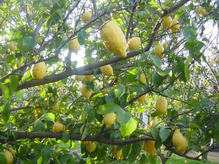 南イタリアユキキーナツアー2日目② レモン農家で料理レッスン_d0041729_21210919.jpg
