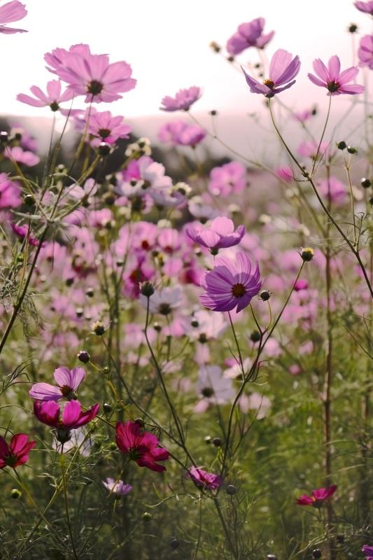 pink cosmos_f0315034_13130882.jpg