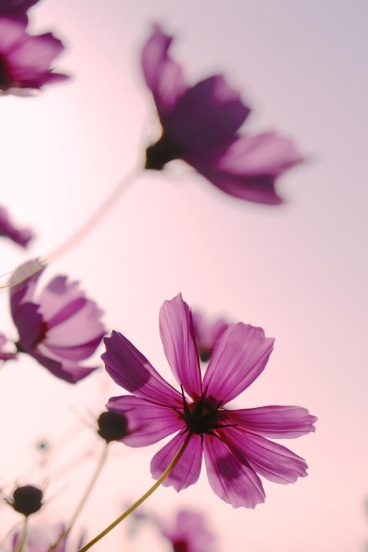 pink cosmos_f0315034_13134583.jpg