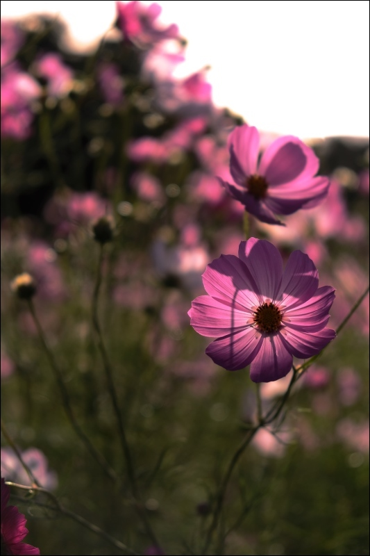 pink cosmos_f0315034_13152808.jpg