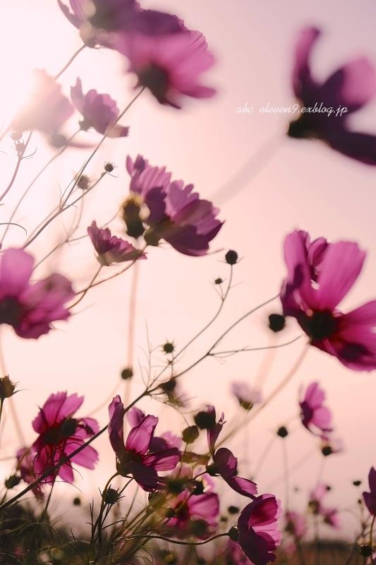 pink cosmos_f0315034_13171222.jpg