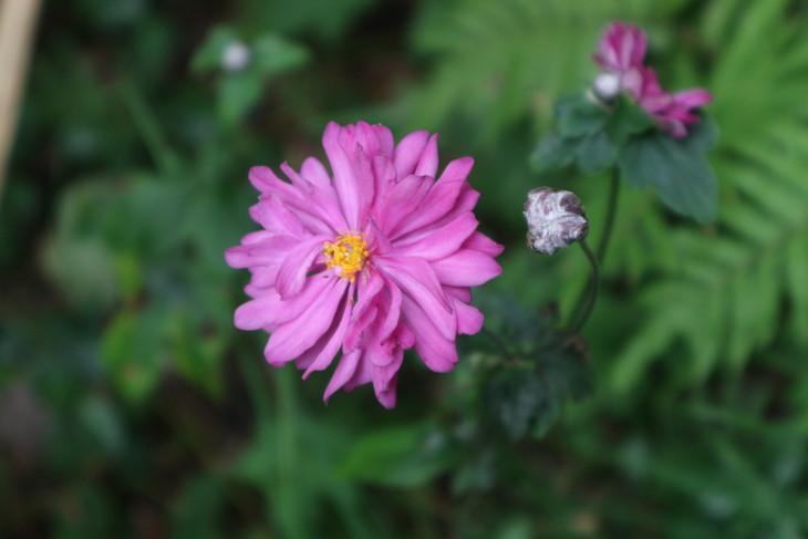 野辺に咲きたるシュウメイギク(秋明菊)_e0272335_18555186.jpg