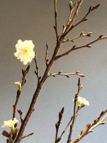 花だより 十月桜と白磁大壺_a0279848_13450268.jpeg
